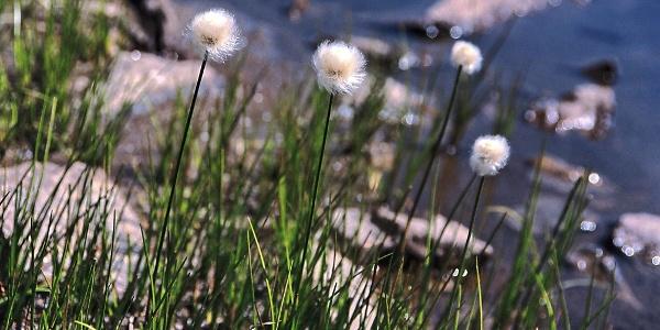 Wollgras: Ihre Blütenstände bestehen aus je einem oder mehreren vielblütigen Ährchen.