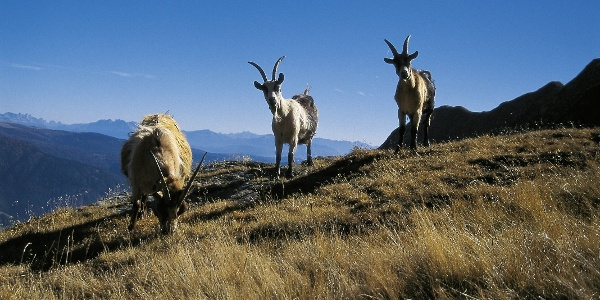 The mountain goats of the Obisell area.