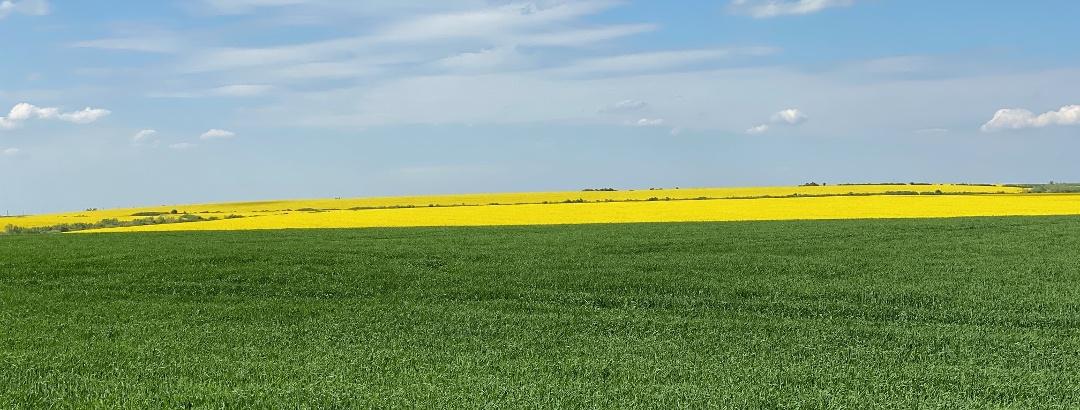 Rapeseed field near Timisoara