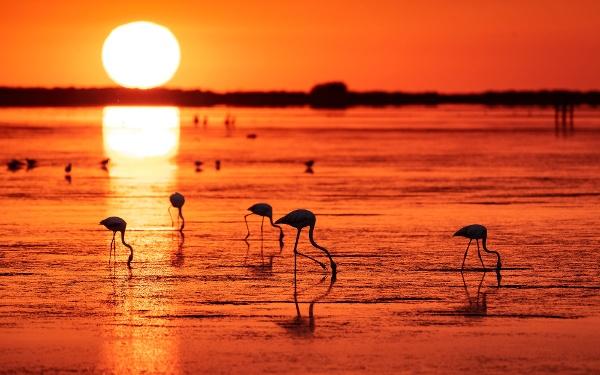 Flamingos im Delta de l'Ebre
