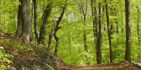 Buchenwälder der Weserhänge
