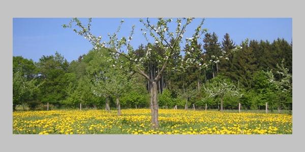 Apfelblüte an der Streuobstwiese