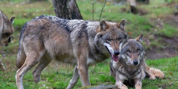 Wölfe im Wolfspark Werner Freud