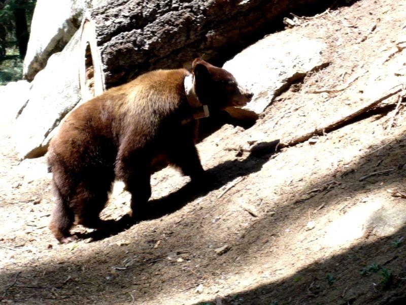 Schwarzbär im Sequoia Nationalpark