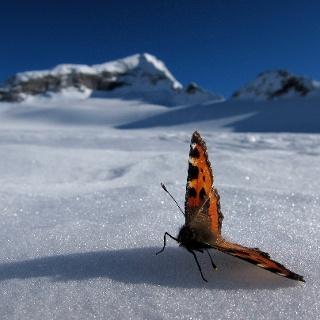 Schmetterling am Stampflkees.