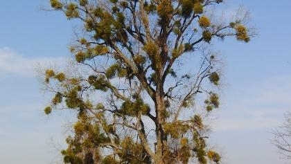 Gewaltiger Baum mit Misteln auf einer Wiese.