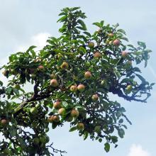 Viele Apfelbäume