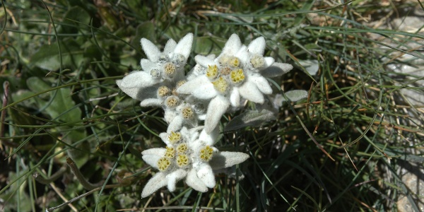 With a little luck, you will even see an edelweiss