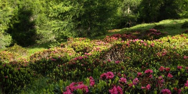 Alpenrosenblühen am Wegesrand