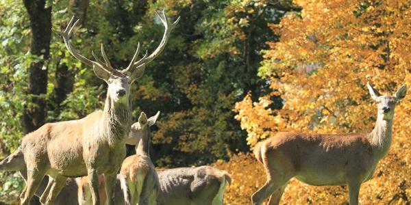 Rotwild im Wildpark Feldkirch