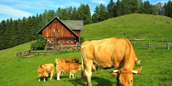 Murbodner Rinder auf der Blahbergalm